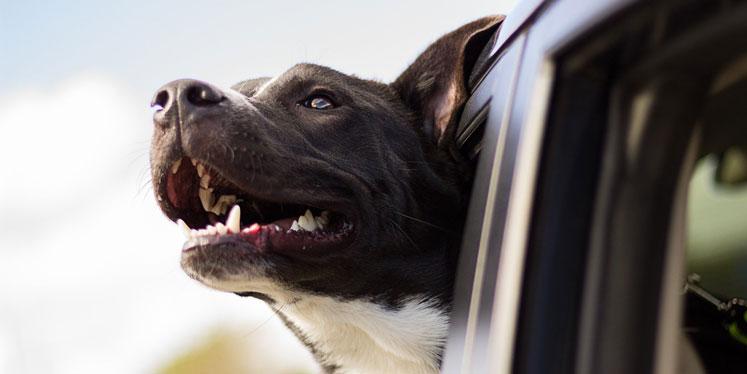 Hund streckt den Kopf aus dem Fenster